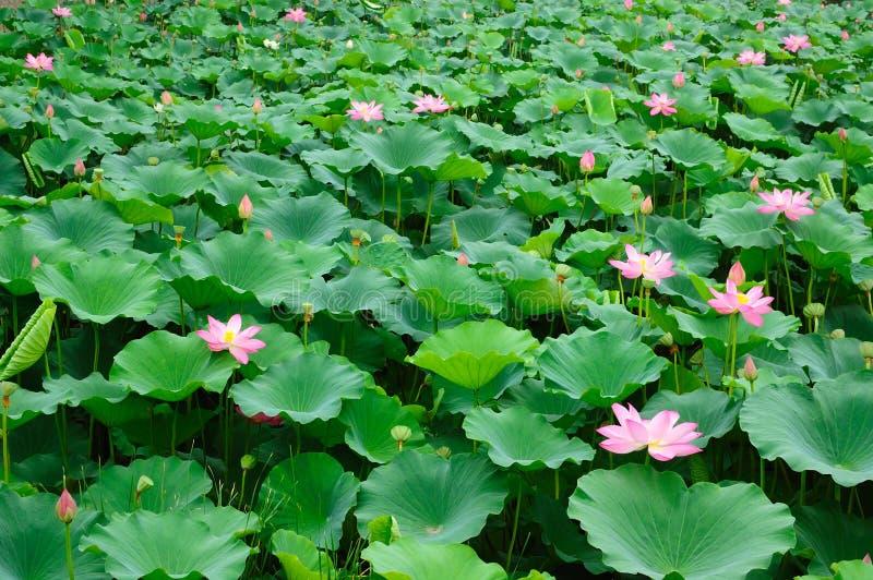 Vijver 2 van Lotus stock fotografie
