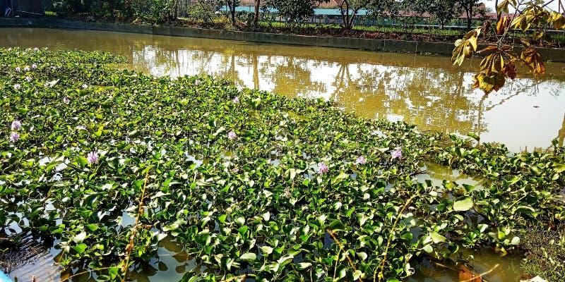 Vijver die waterhyacint bevatten royalty-vrije stock foto's