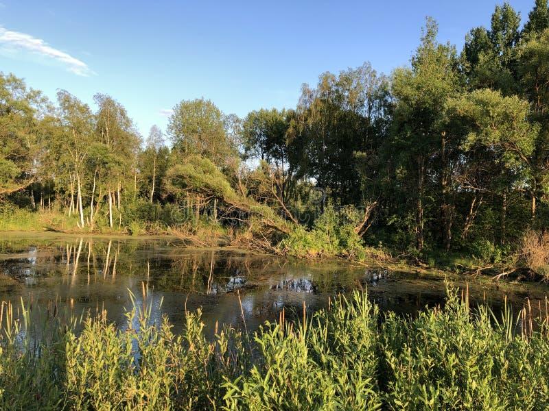 Vijver, water, bos, aard, de zomer, moeras, blauwe hemel stock afbeelding