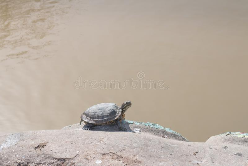 Vijverschildpad in zijn natuurlijke habitat, die op een rots zonnebaden stock fotografie