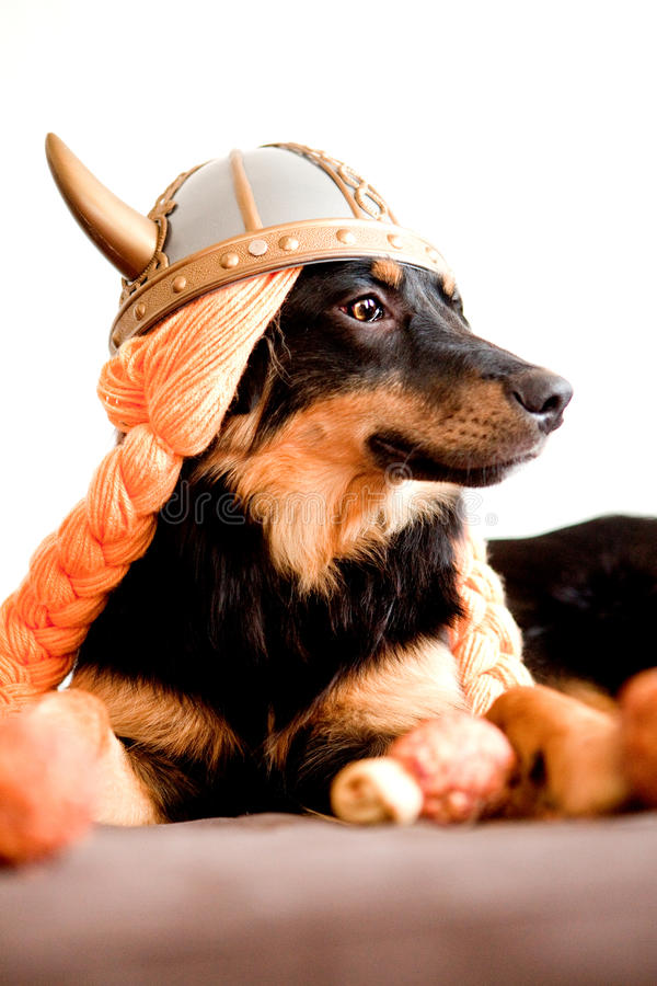 Viking puppy. Puppy dressed as a Viking looking off into the distance royalty free stock photo