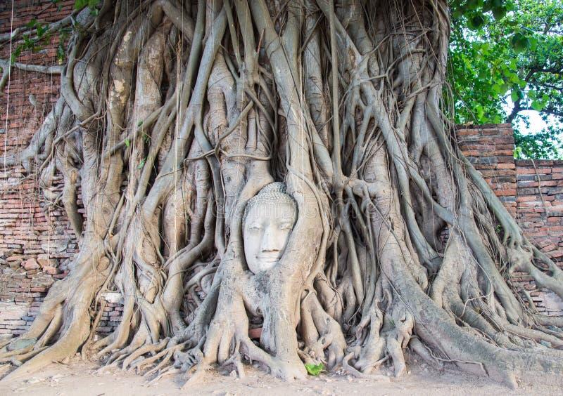 ViktigBuddha huvud i träd på Thailand arkivfoton
