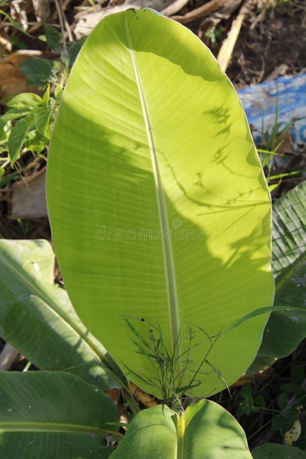Vila bonita da planta da folha da banana fotos de stock
