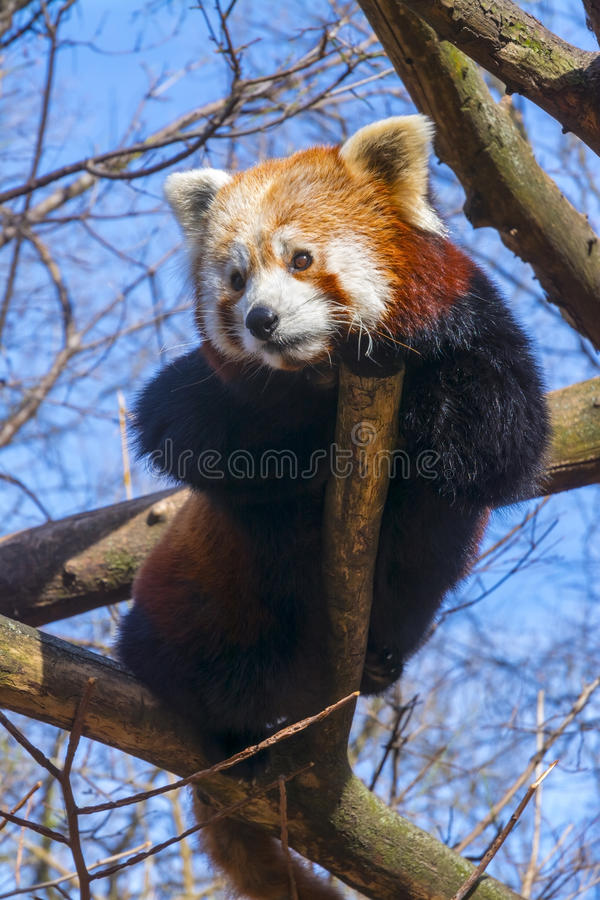 Vila den röda pandan arkivbilder