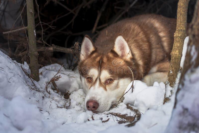 Vila den skrovliga ståenden för avelhundvinter i lya Siberian skrovligt ligga, i vinterskoghusdjuret som ser kameran royaltyfria bilder