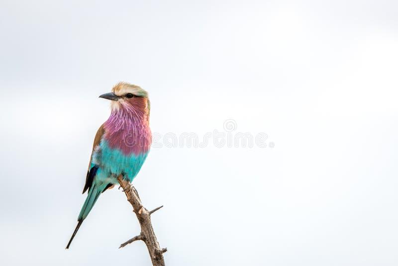 Vila dengick mot rullen i den Kruger nationalparken, söder arkivfoto
