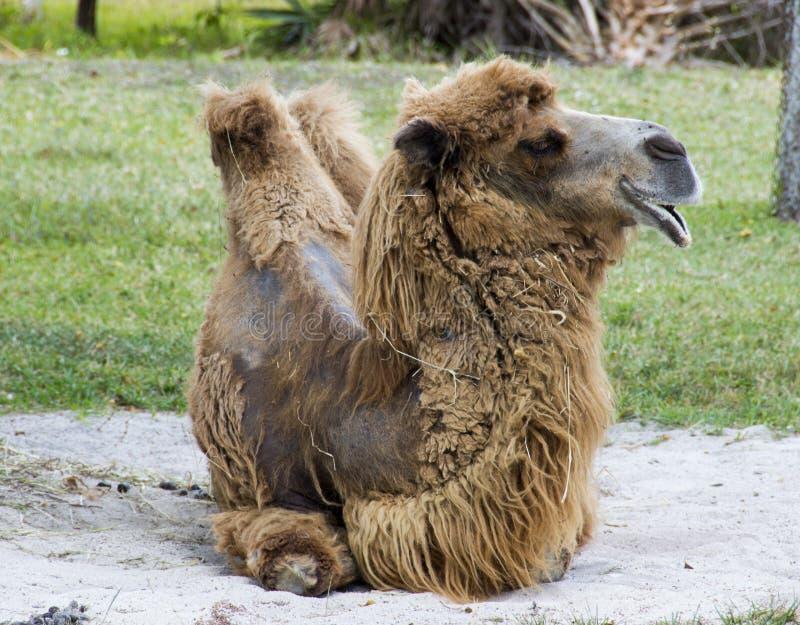 Vila för Bactarian kamel arkivbilder