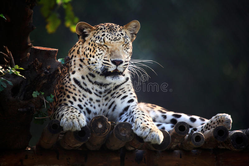 vila för jaguar royaltyfria foton