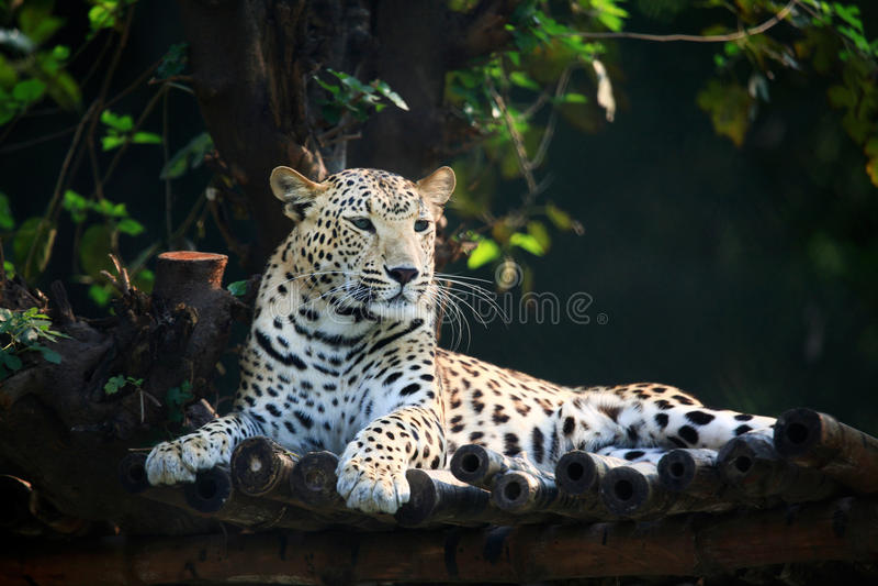 vila för jaguar arkivbilder