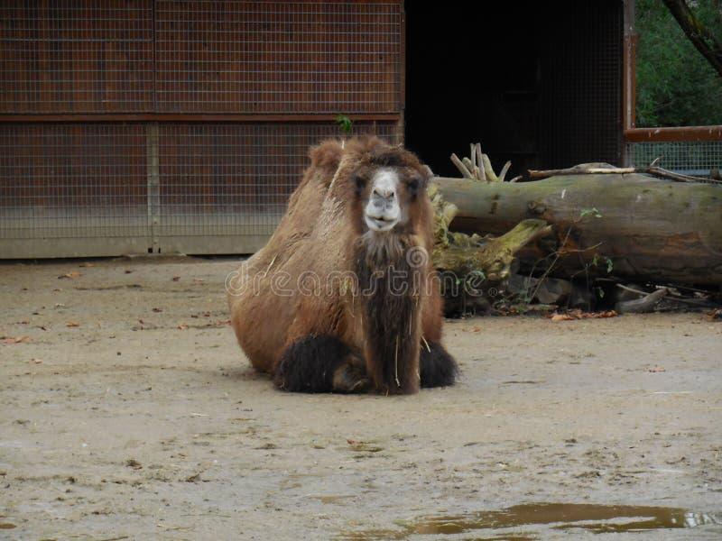 Vila för kamel royaltyfri foto