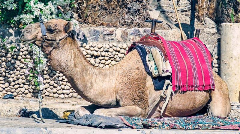 Vila för kamel royaltyfria foton