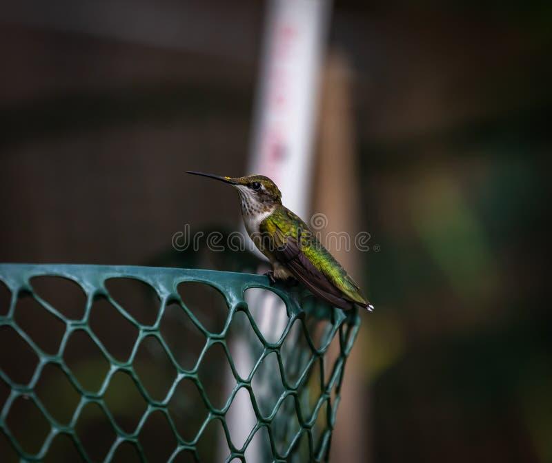 Vila för kolibri royaltyfri bild