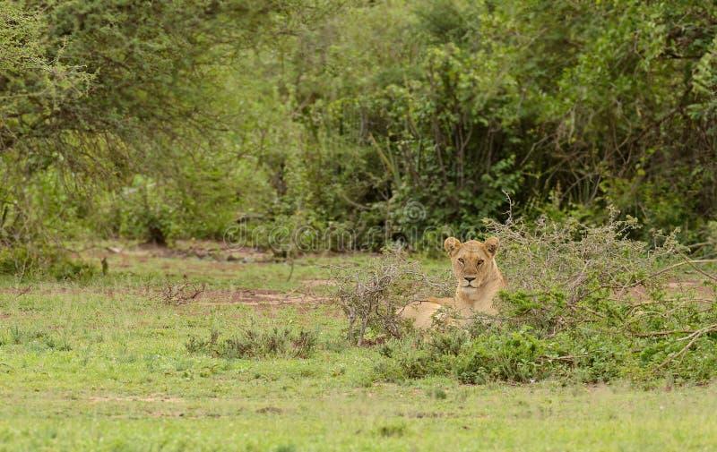 Vila för lejoninna arkivfoton