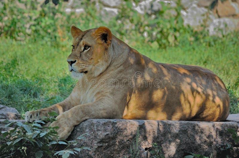 Vila för lejoninna royaltyfri fotografi