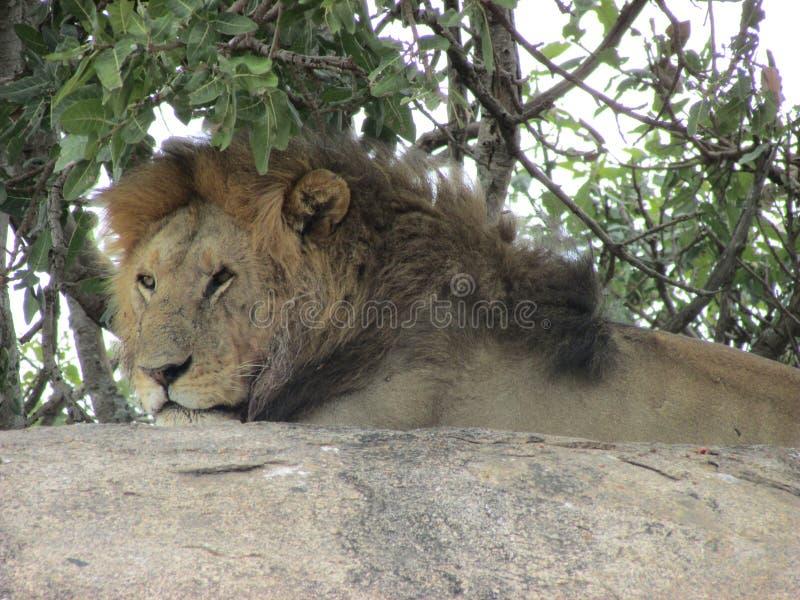 vila för lion arkivfoto