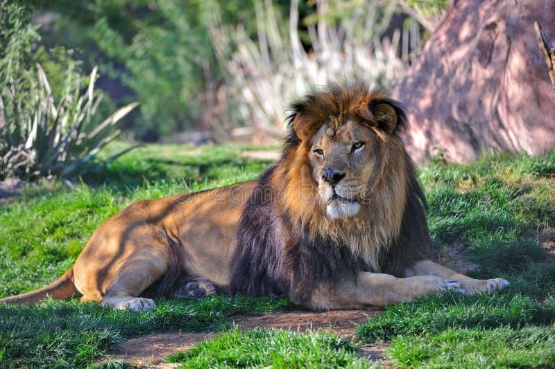 vila för lion arkivbild