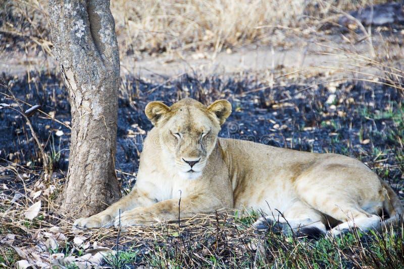 vila för lioness royaltyfria foton