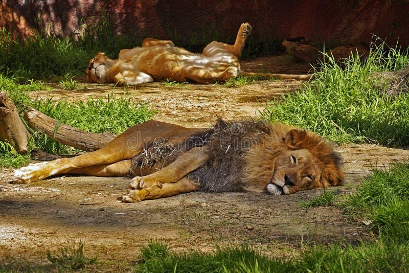 vila för lions fotografering för bildbyråer