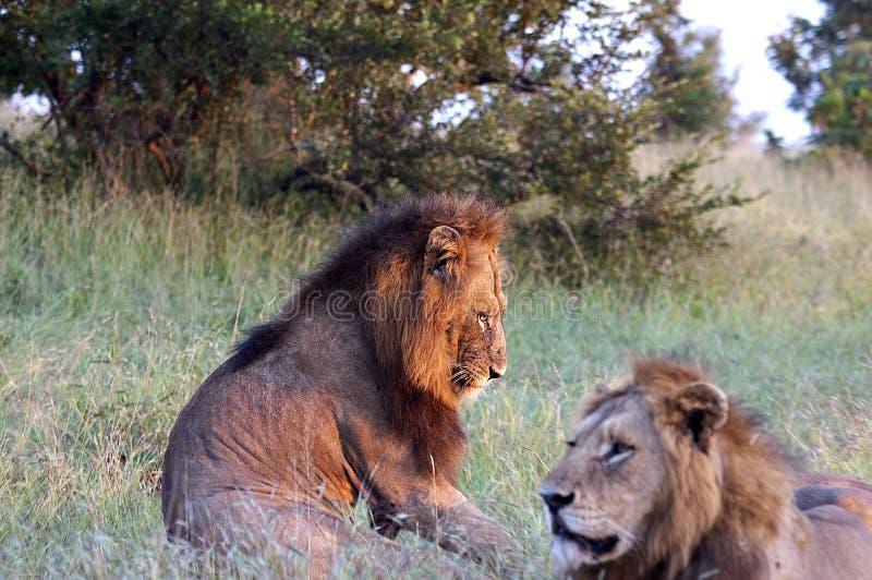 vila för lions arkivbild