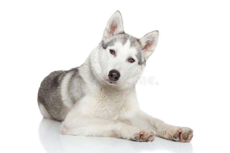 Vila för Siberian Husky royaltyfria foton