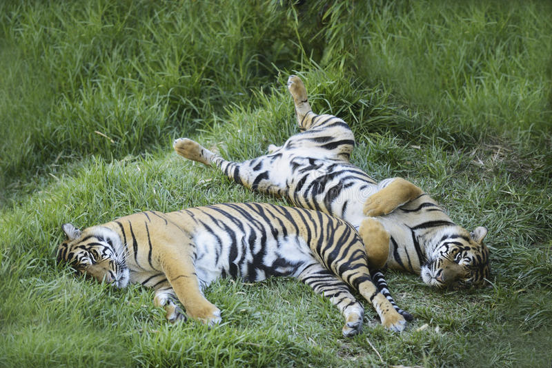 Vila för tigrar royaltyfri foto