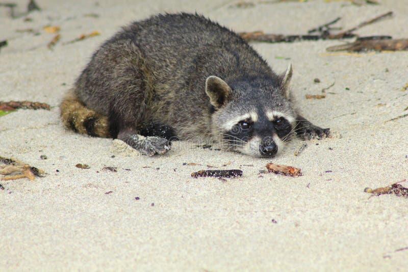vila för raccoon royaltyfri bild