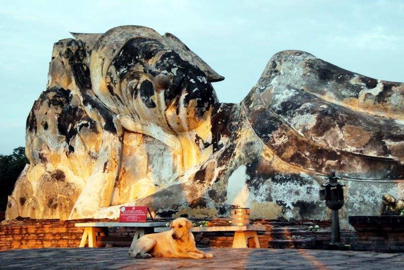 Vila hunden nära till statyn av Buddha historisk park för ayutthaya royaltyfri foto