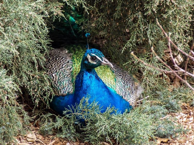Vila peafowlen i evergreen royaltyfri bild
