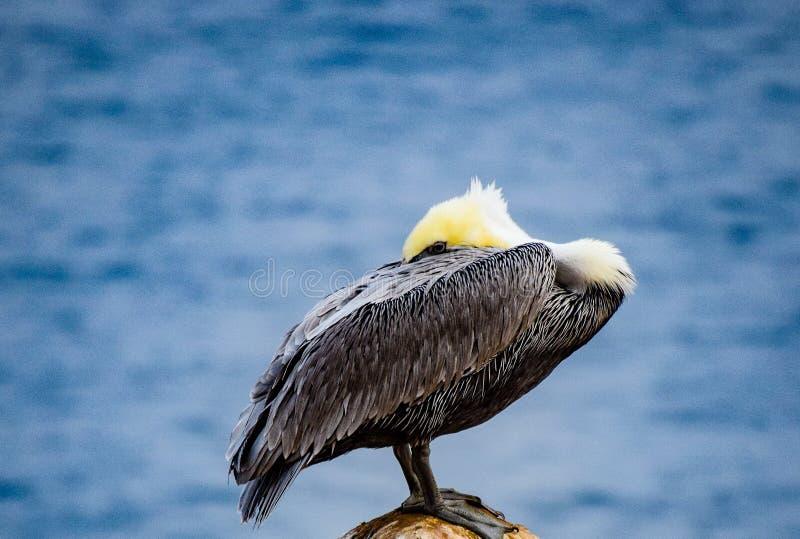 Vila pelikan på den La Jolla lilla viken i Kalifornien fotografering för bildbyråer