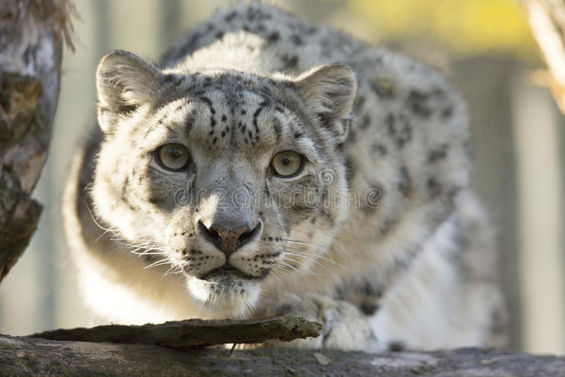 Vila snöleoparden, Uncia uncia, stående royaltyfria foton