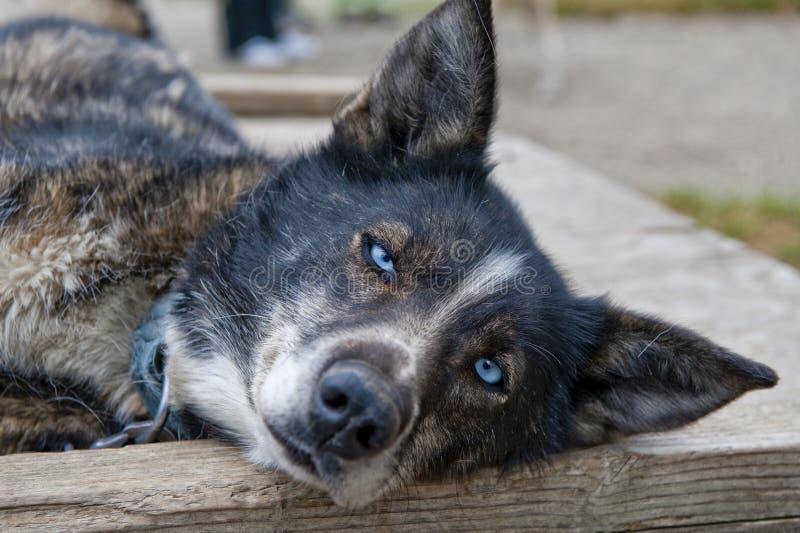 vilande sled för alaskabo hund arkivfoton