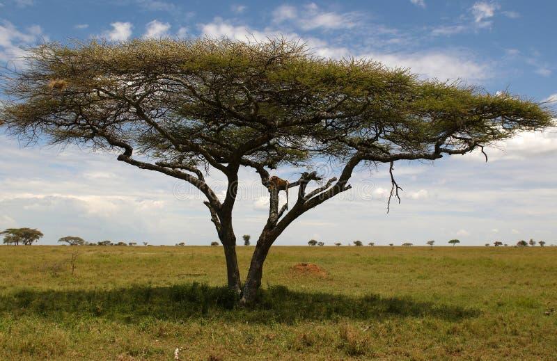 vilande tree för afrikansk lion arkivbilder