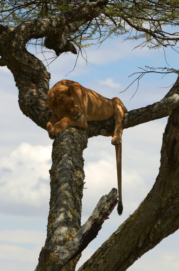 vilande tree för afrikansk lion royaltyfria bilder