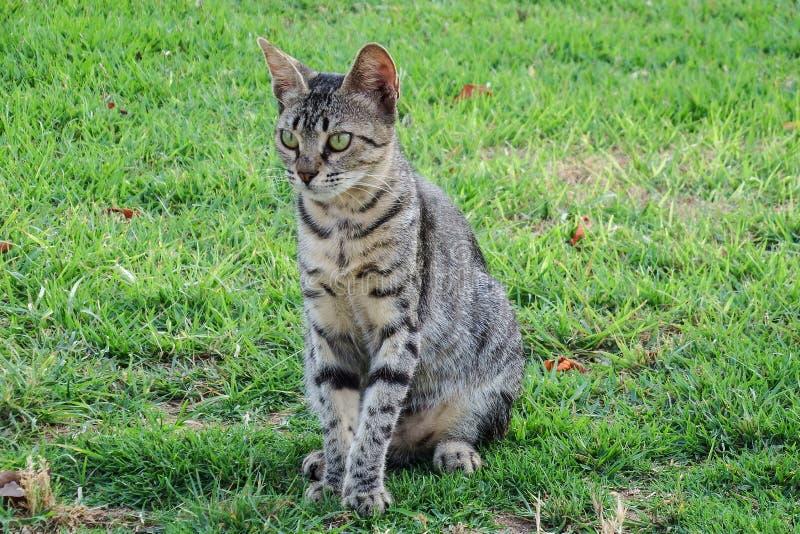 vild katt royaltyfria bilder