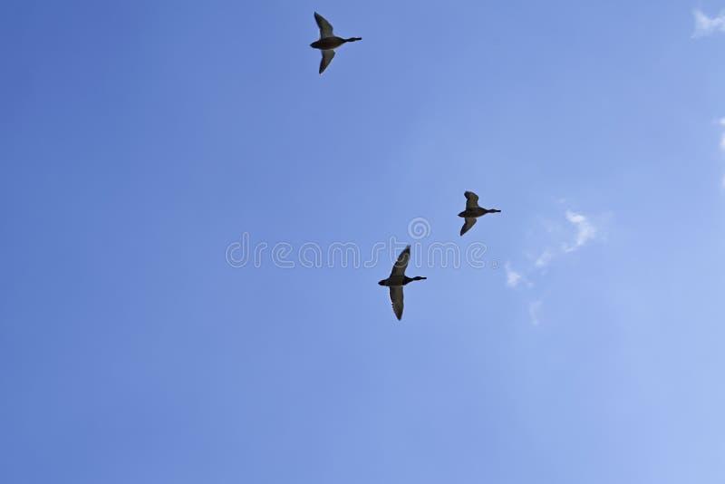 Vilda ankor flyger mot en bakgrund av blå himmel och vita moln arkivfoton