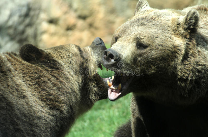Vilda björnar kämpar med skott och öppnar käkar som tuggor strider royaltyfria foton