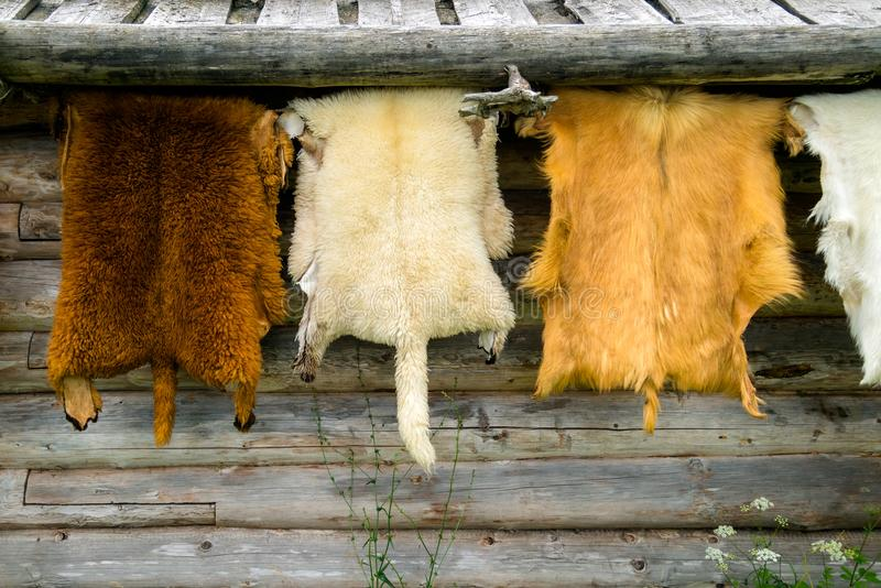 Vilda djur pälsfodrar att hänga på den trähem- väggen utanför royaltyfri bild