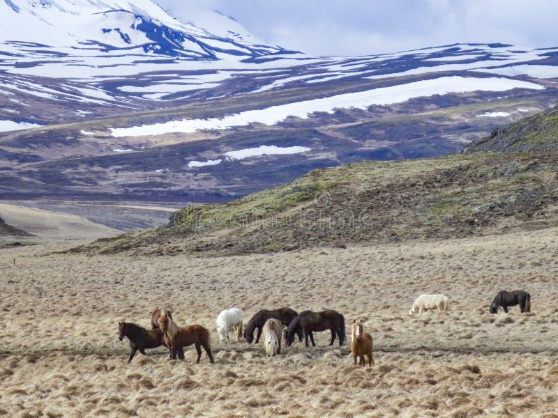 Vilda hästar betar vid ängen med snötäckta berg i bakgrunden arkivfoto