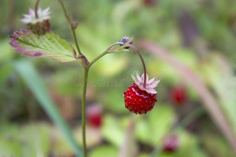 Vilda jordgubbar i närhet royaltyfri fotografi