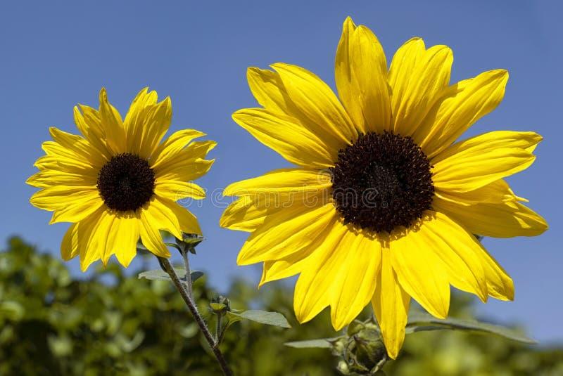 Vilda solblommor i blomning arkivbild