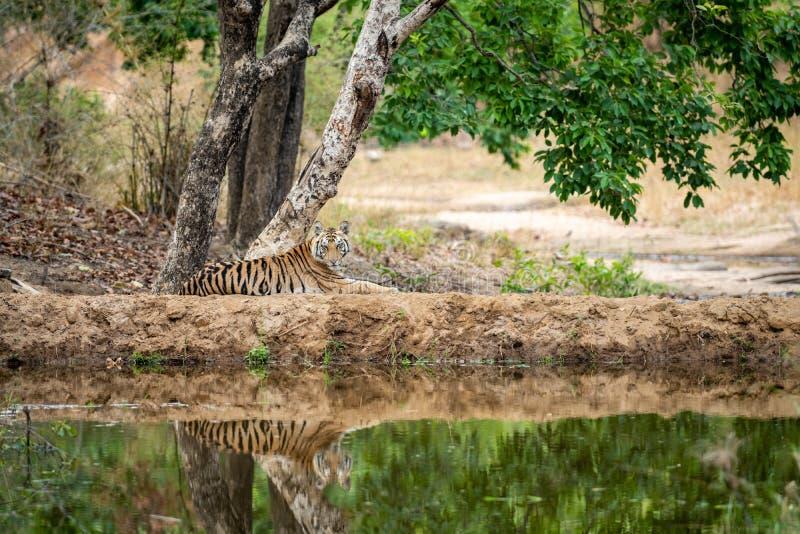 Vilda tigerkuber av honkön vilar i naturlig grön bakgrund nära vattenförekomsten under sommarsäsongen Apex-rovdjur i den inhemska arkivfoton