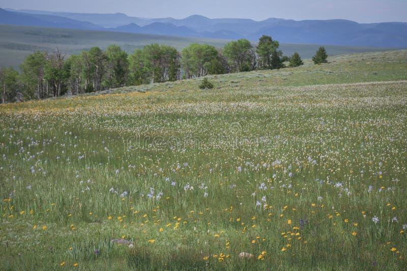 Vildblommaäng på det mellersta berget i den Colorado den lösa irins och aster royaltyfri bild