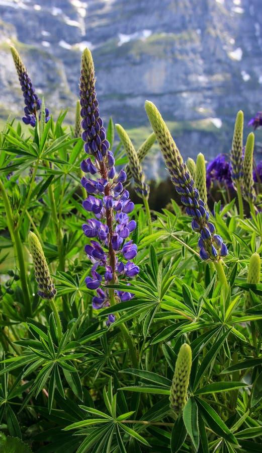 Vildblomma: Lupinusen, lupin, lupinefältet med rosa lilor och blått blommar med europeiska fjällängar som en bakgrund royaltyfria foton