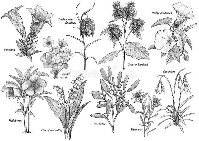 Vildblommasamling, illustration, teckning, gravyr, f stock illustrationer