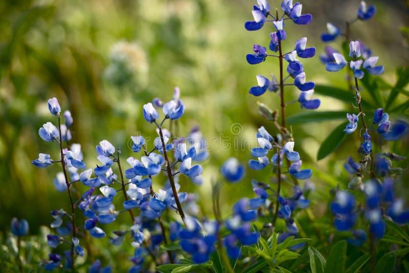 Vildblommor: Blå Lupine arkivfoton