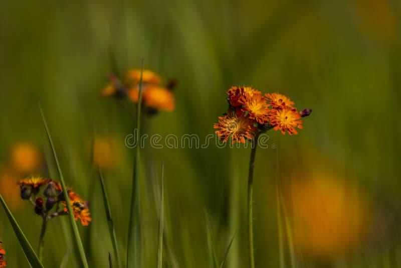 Vildblommor för orange hawkweed fotografering för bildbyråer