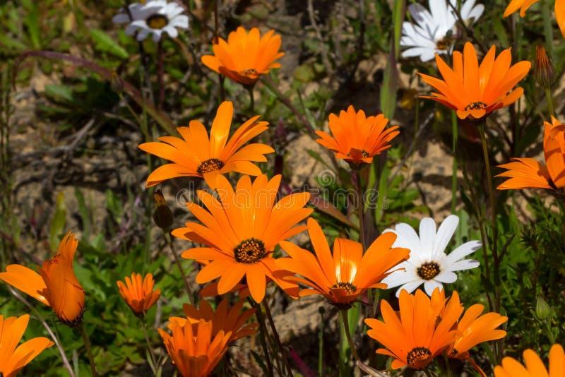 Vildblommor f?r orange och vit tusensk?na arkivfoton
