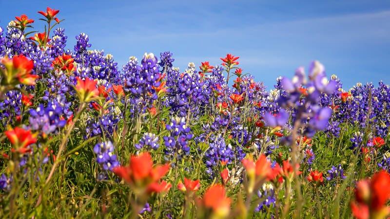 Vildblommor i Texas Hill Country - bluebonnet- och indierpaintb arkivbild
