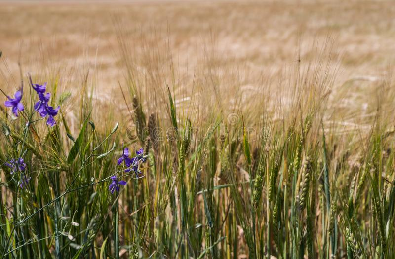 Vildblommor mot bakgrunden av ett vetefält royaltyfria foton