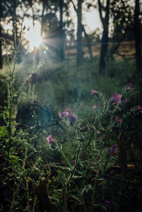Vildblommor till och med sunburst längs Numbat som fotvandrar slingan, Gidgegannup, västra Australien, Australien royaltyfria foton